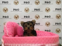 Yorkshire Terrier - Flower - Female Yorkshire Terrier for sale/adoption