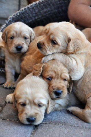 Labradoodle puppy dog for sale in Tucson, Arizona