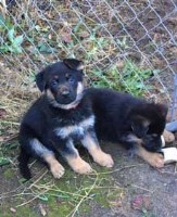AKC GERMAN SHEPHERD PUPPY, EXCELLENT FAMILY PET and PROTECTION German Shepherd Dog for sale/adoption
