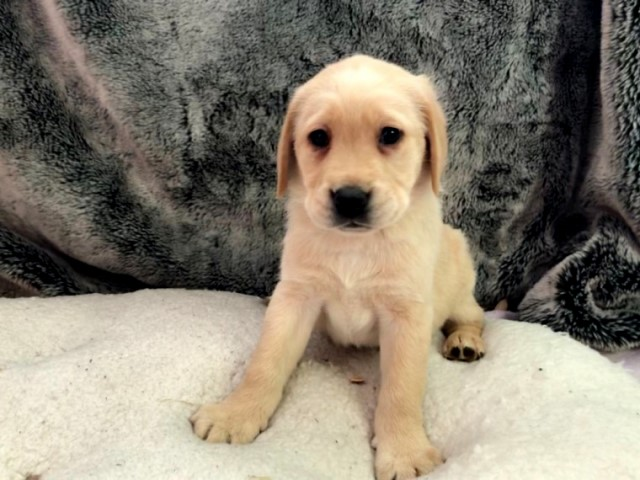 Beautiful family raised 8 weeks gold color Labrador retriever puppy