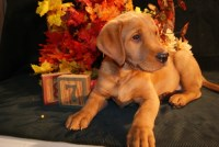 Red Fox Labrador Retrievers - AKC registered Labrador Retriever for sale/adoption