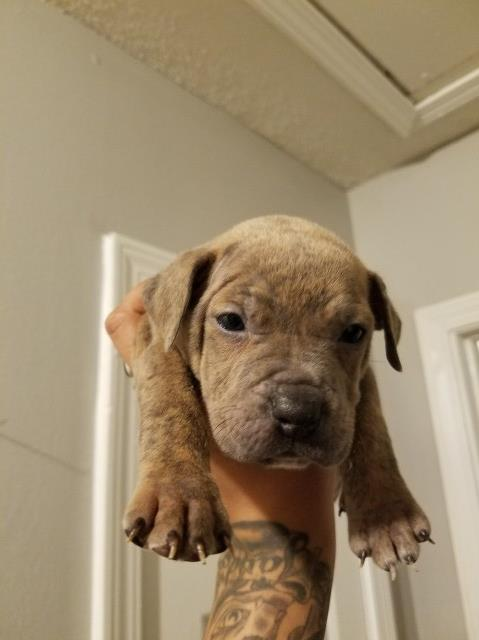 American Pit Bull Terrier puppy dog for sale in Memphis
