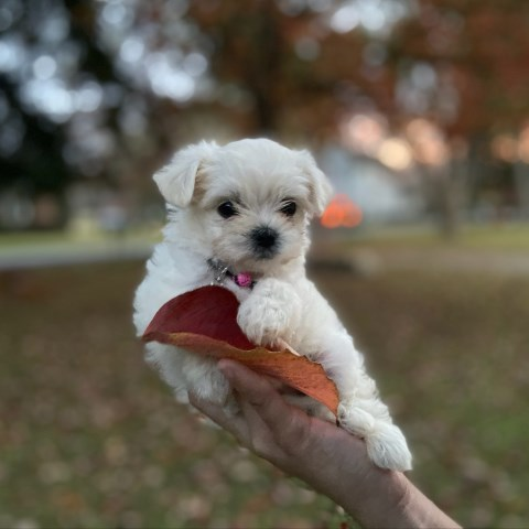 Teacup and Toy Sized Maltipoo Puppies