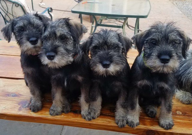 Standard Schnauzer Puppy Dog For Sale In Elk Ridge Utah