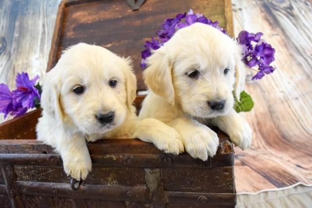 Golden Retriever puppy dog for sale in Grand Junction, Colorado