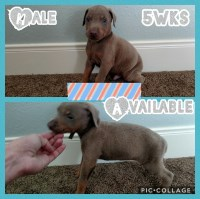 AKC Doberman Puppies Health tested parents Doberman Pinscher for sale/adoption