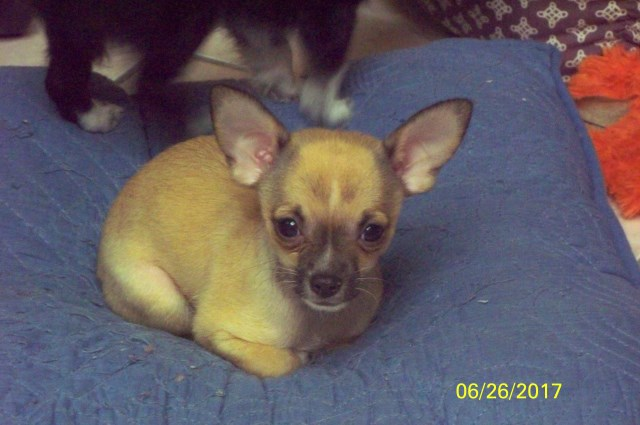 Chihuahua puppy dog for sale in Largo, Florida