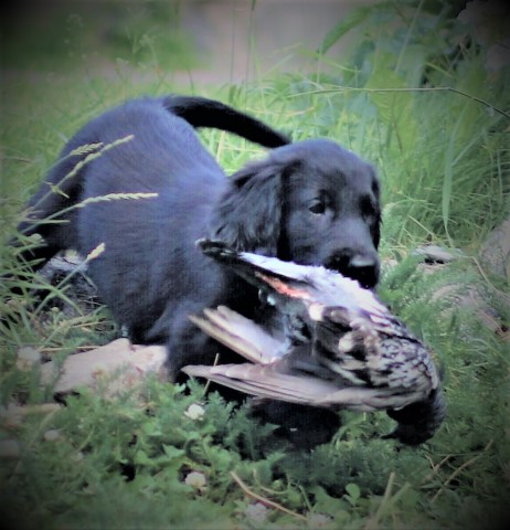 Flat Coated Retriever puppy for sale + 53718