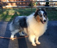 SHELTIE PUPPIES 2 sable boys 3/21 & Blue merle adult male 4yrs Shetland Sheepdog for sale/adoption