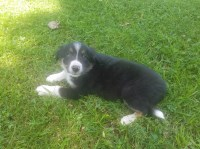 ABCA Registered Border Collie Puppy- Mack Border Collie for sale/adoption