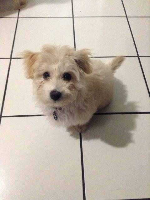 Maltipoo puppy dog for sale in Mpumalanga South Africa