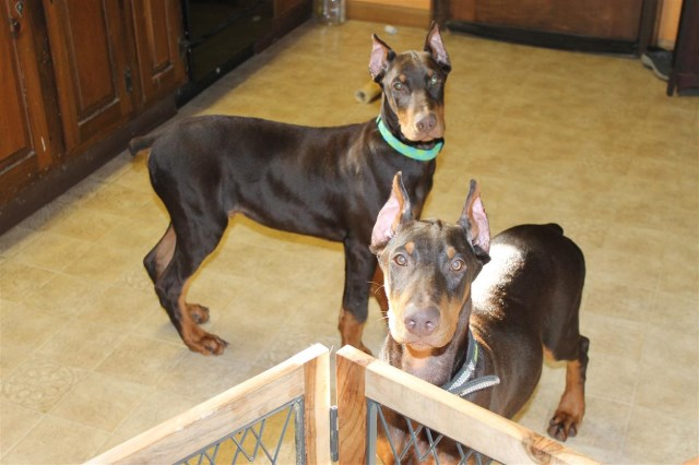 Doberman Pinscher Puppy Dog For Sale In Rochester New York