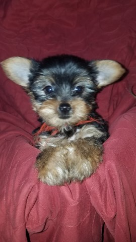 Yorkshire Terrier puppy dog for sale in san marcos, Texas