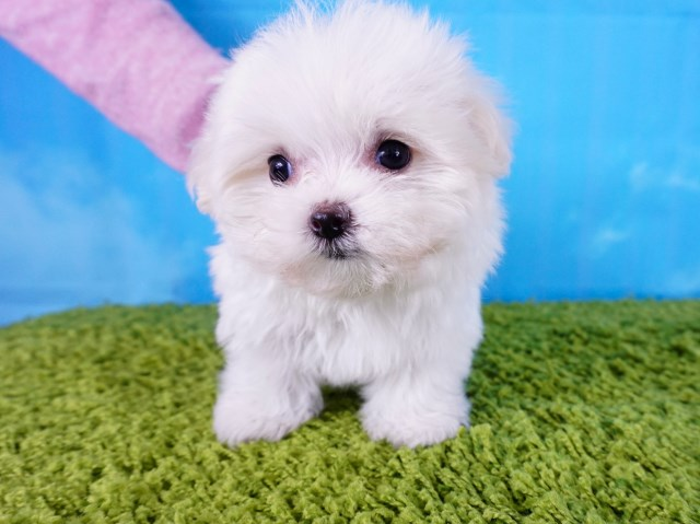 Maltese puppy for sale + 55025