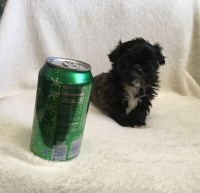 Imperial Shih-tzu baby!! Ready Now!!! Shih Tzu for sale/adoption