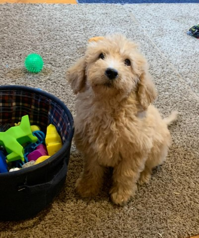 Goldendoodle puppy for sale + 60359
