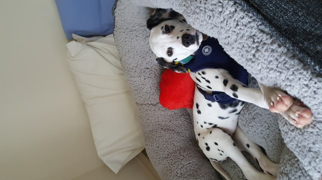 Dalmatian puppy dog for sale in Limpopo South Africa