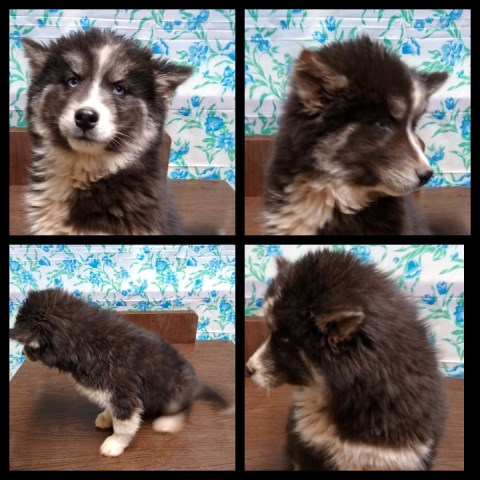 Siberian Husky puppy for sale + 59673