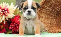 Chris is a handsome English Bulldog puppy English Bulldog for sale/adoption