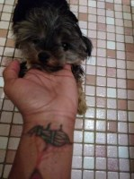Beautiful and loving yorkie Yorkshire Terrier for sale/adoption