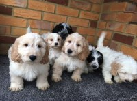 @@!@AMAZING COCKAPOO PUPPIES FOR SALE Cockapoo for sale/adoption