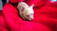 chihuHua   male Chihuahua for sale/adoption