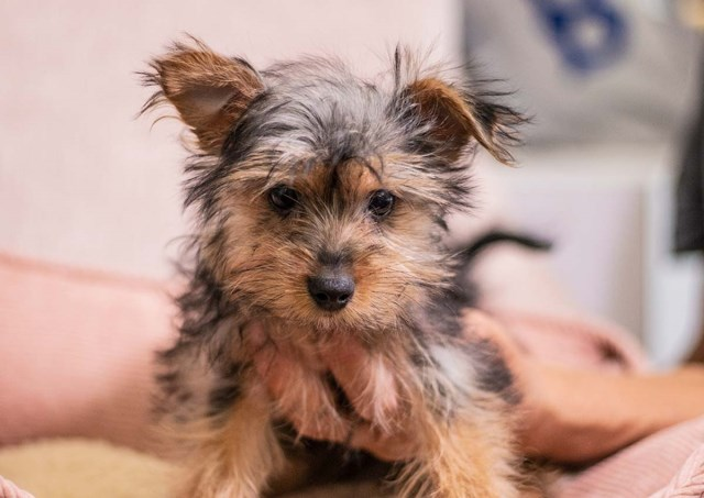 Yorkshire Terrier puppy for sale + 59096