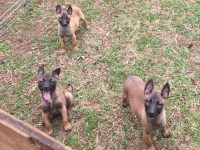 Malinois Dogs and Puppies for Adoption