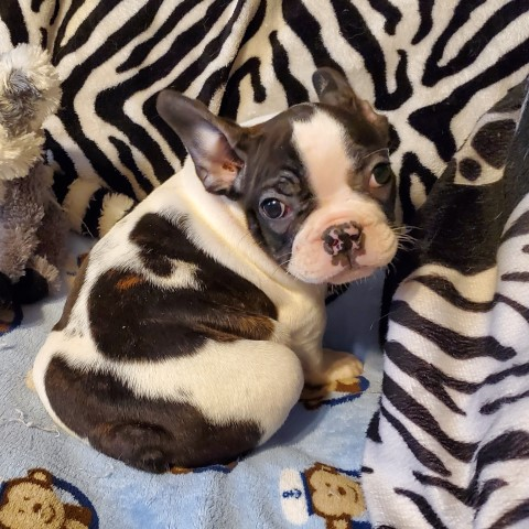 French Bulldog puppy for sale + 58291