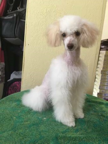 Poodle Toy puppy dog for sale in Ocala, Florida
