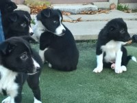 Black & White Border Collie Puppies Border Collie for sale/adoption