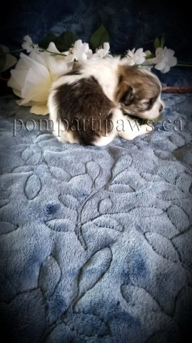 Reg'd. Canadian Kennel Club Pomeranian Puppies _We are EXPECTING puppies in AUG.-September 2020