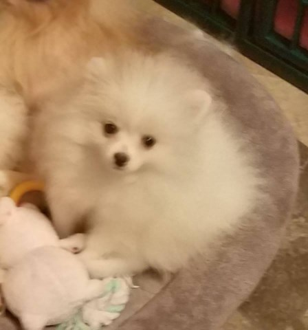 Stunning Rare White pomeranian Puppy Male for sale