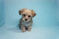 Teacup Morkie (Maltese - Yorkie) Puppy! Morkie for sale/adoption