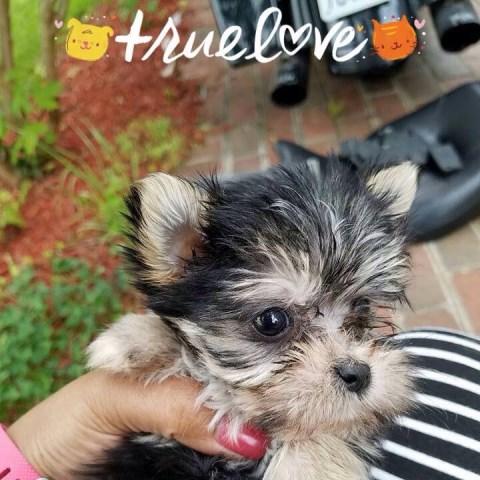 Morkie Puppy Dog For Sale In Richmond Virginia