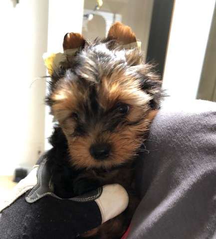 Yorkshire Terrier Babies seeking new families and homes
