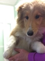 Sheltie - mini Collie Shetland Sheepdog for sale/adoption