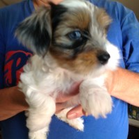 Yorkiepoo white/silver/tan parti Merle Yorkipoo for sale/adoption