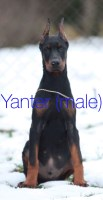 Direct Import Doberman ready for Christmas Doberman Pinscher for sale/adoption