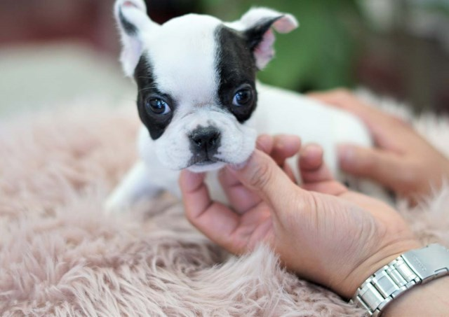 French Bulldog puppy for sale + 56306