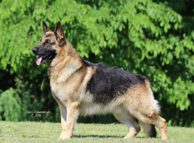 German Shepherd Dog puppy for sale + 52386
