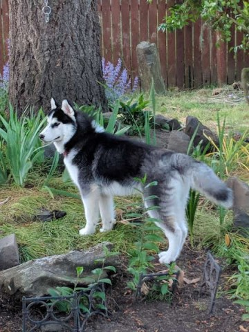 Oregon Siberian Huskies top champion lines home raised small hobby breeder