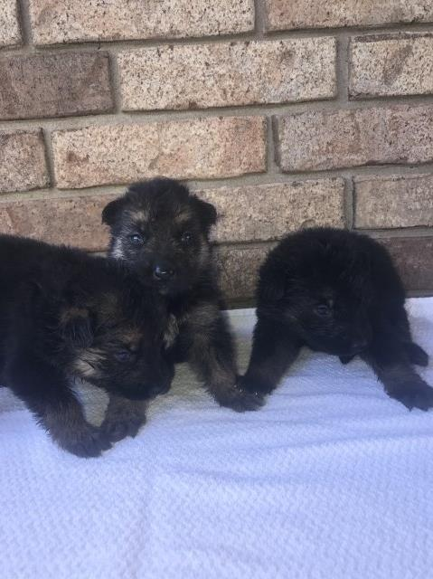German Shepherd Dog puppy for sale + 49676