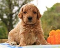 Goldendoodle Puppies And Dogs For Sale In Louisiana