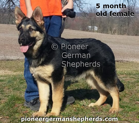 Straight back, old fashioned German Shepherds - puppies and adults occasionally available