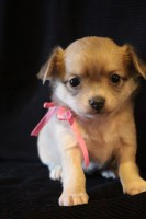 Nilla long coat chihuahua Chihuahua for sale/adoption