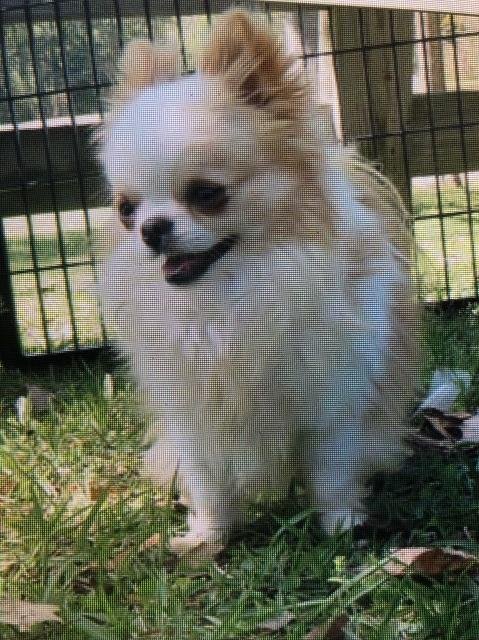 Chihuahua Puppy Dog For Sale In Lafayette Louisiana