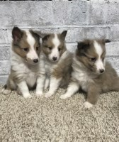 Shetland Sheepdog Dogs and Puppies for Adoption