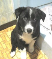 Border Collie, best companions, wonderful friends, playmates4U Border Collie for sale/adoption