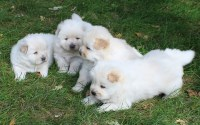 Cream/whitw chow chows for sale. Chow Chow for sale/adoption